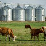 Vacas leiteiras no pasto
